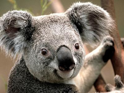 caracteristicas-koalas