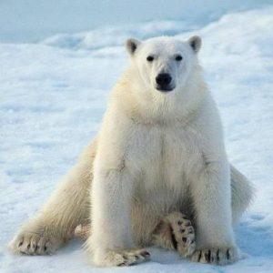caracteristicas de los osos polares