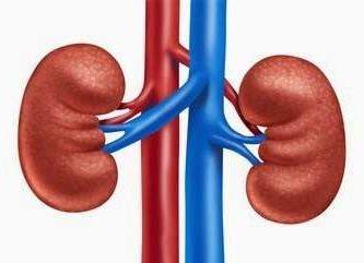 caracteristicas de los riñones