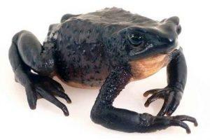 caracteristicas de la rana jambato
