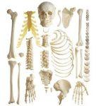 caracteristicas de los huesos