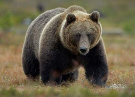 caracteristicas de los osos
