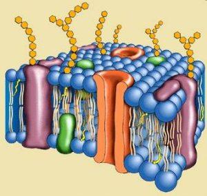 caracteristicas de los fosfolipidos