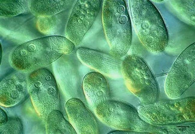caracteristicas de los protistas